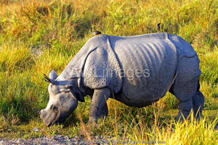 India, State of Assam, Kaziranga National Park, listed as World Heritage by UNESCO, Asian One-horned rhino or Indian Rhinoceros or Greater One-horned Rhinoceros (Rhinoceros unicornis)