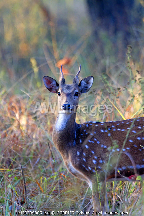 India, State of Madhya Pradesh, Bandhavgarh National Park, Spotted deer or axis deer, chital or cheetal (Axis axis), male