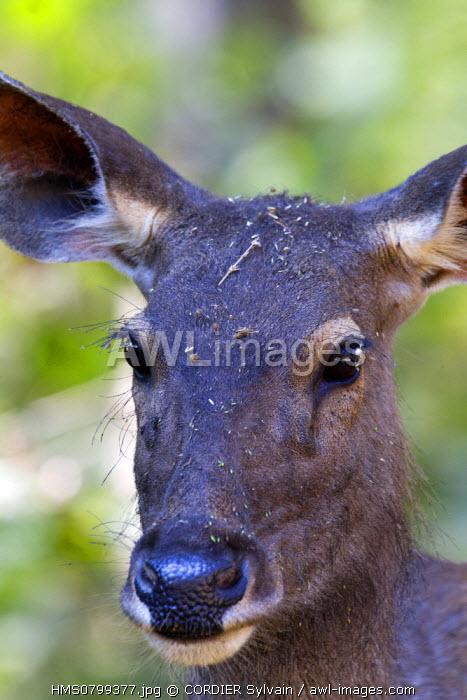 India, State of Madhya Pradesh, Kanha National Park, Sambar (Rusa unicolor), female
