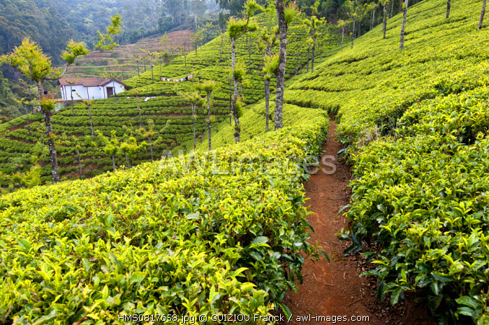 India, Tamil Nadu State, Ooty, a hill station in the Nilgiri Hills (Blue Hills) at an altitude of 2200m founded by the Britishat the 19th century, is surrounded by tea estates