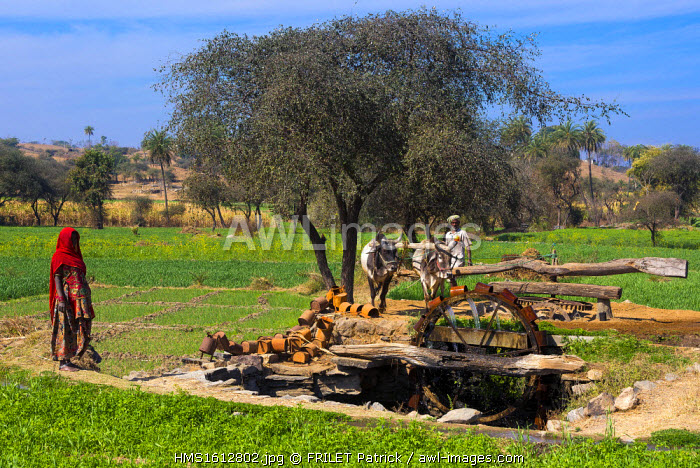 India, Rajasthan state, Kumbalgarh, Norias pulled by ox, collecting the water to irrigate the fields