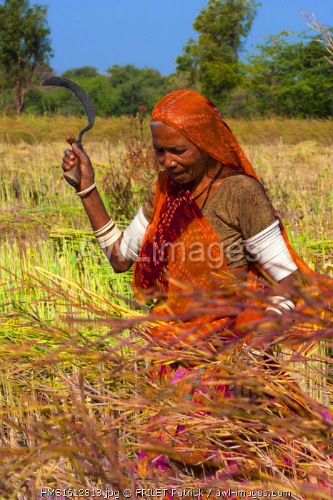India, Rajasthan state, Kumbalgarh, women working in the fields