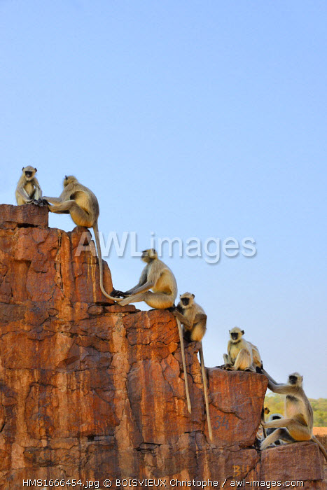 India, Rajasthan state, hill fort of Rajasthan listed as World Heritage by UNESCO, Ranthambhore National Park, Ranthambhore fort, Gray langur monkeys