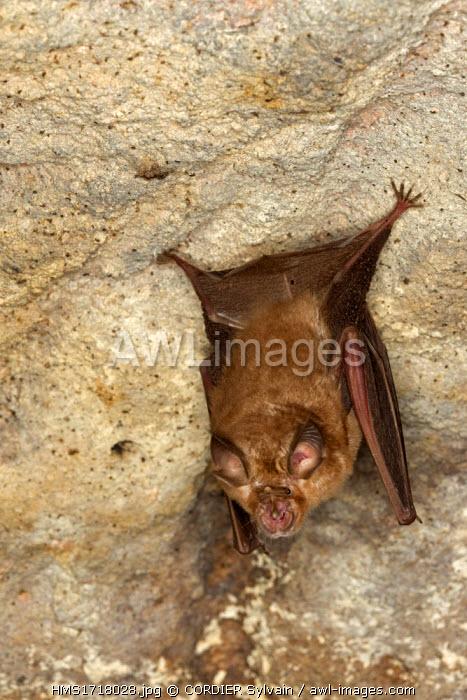 India, Madhya Pradesh state, Bandhavgarh National Park, Badi Gufa or Ancient Cave of Bandhavgarh, Great Eastern Horseshoe Bat or Woolly Horseshoe Bat (Rhinolophus luctus)
