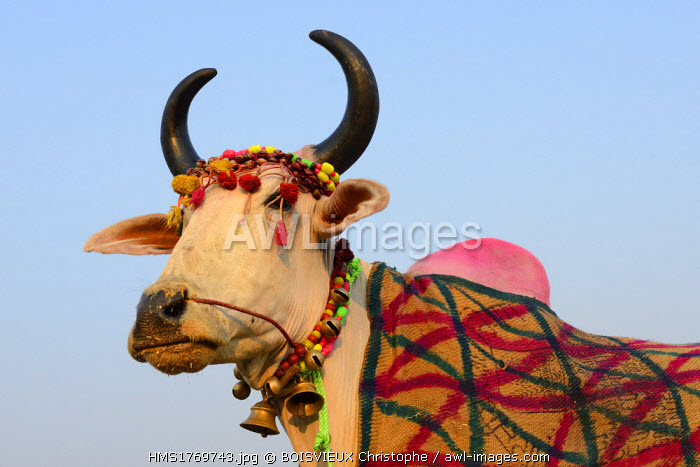 India, Bihar, Patna region, Sonepur livestock fair, Cattle market, Prize cow