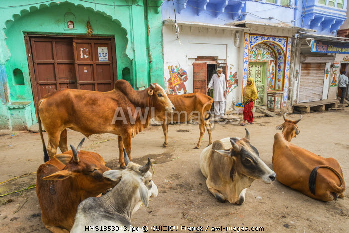 India, Rajasthan State, Bundi, cows in the streets