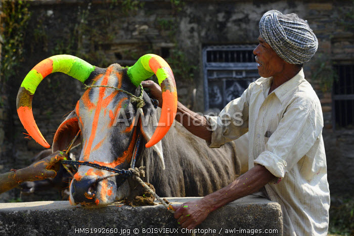 India, Rajasthan, Udaipur region, Diwali festival, Farmers painting the horns of a holy cow The fourth day of Diwali festival is marked by cow worship. Cows are often elaborately decorated or painted on the occasion.