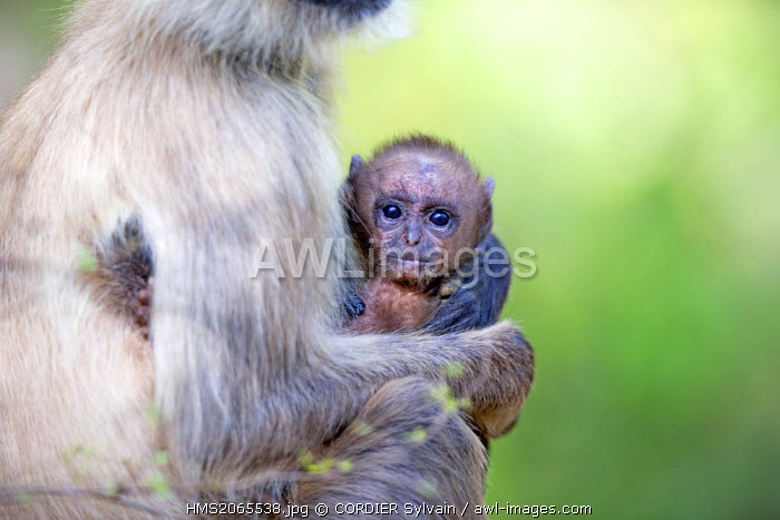 India, Maharashtra state, Tadoba Andhari Tiger Reserve, Tadoba national park, Hanuman Langur (Semnopithecus entellus), mother and baby