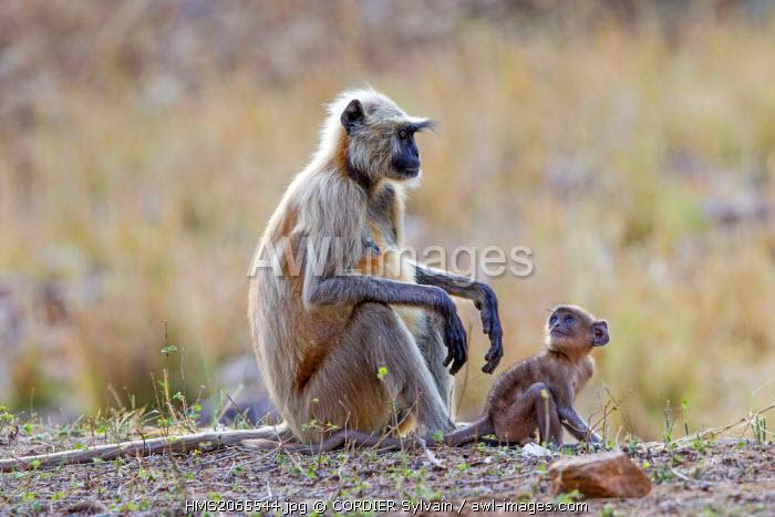 India, Karnataka state, Nagarhole national park, Tiger reserve of Kabini, Hanuman Langur (Semnopithecus entellus), adult