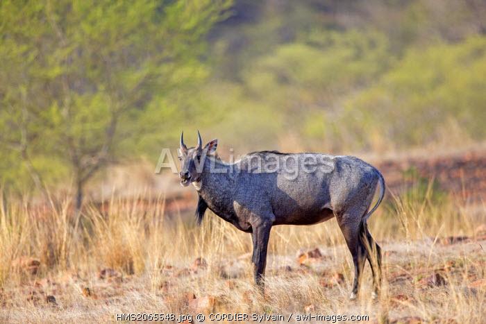 India, Rajasthan state, Ranthambore National Park, Nilgai or Indian Bull or Blue Antelope (Boselaphus tragocamelus)