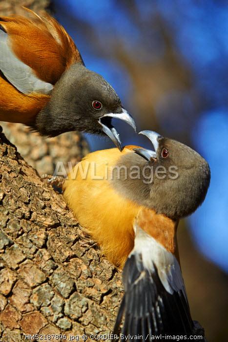 India, Rajasthan state, Ranthambore National Park, Rufous Treepie (Dendrocitta vagabunda), fight between twoo birds