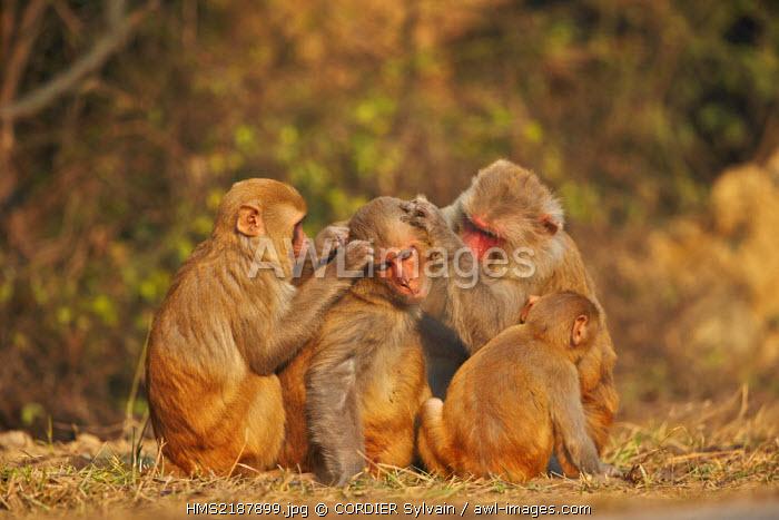 India, Rajasthan state, Bharatpur, Keoladeo national park, Rhesus macaque (Macaca mulatta), grooming
