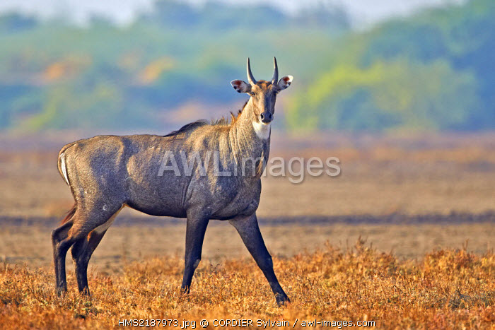 India, Gujarat state, Blackbuck national park, Nilgai or Indian Bull or Blue Antelope (Boselaphus tragocamelus), male