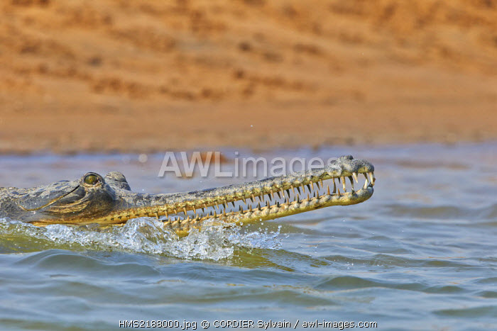 India, Uttar Pradesh state, Chambal river, Gharial (Gavialis gangeticus), on the sand of the river