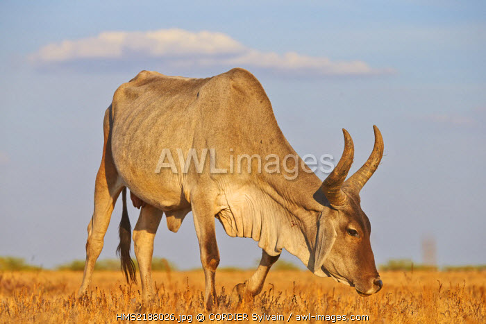 India, Gujarat state, Little Rann of Kutch, Wild Ass Sanctuary, zebu (Bos taurus indicus)
