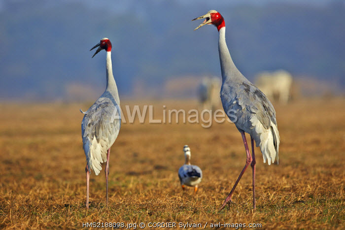 India, Rajasthan state, Bharatpur, Keoladeo national park, Sarus crane (Grus antigone), with Bar-headed goose (Anser indicus)