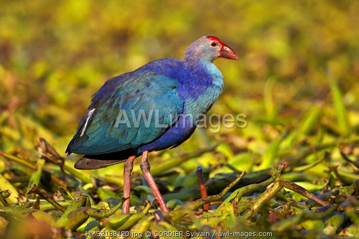 India, Rajasthan state, Bharatpur, Purple swamphen (Porphyrio porphyrio poliocephalus),