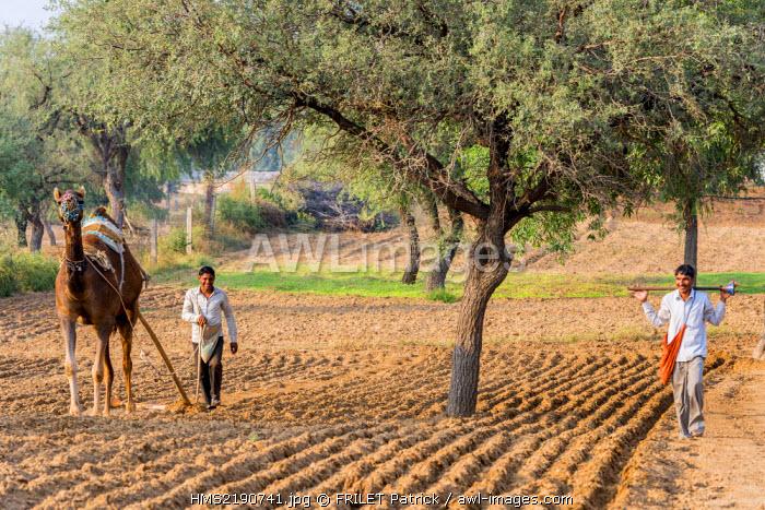 India, Rajasthan state, Shekhawati region, Nawalgarh, farmers plowing