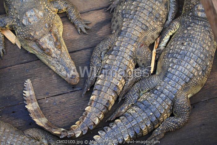 Cambodia, Tonle Sap Lake, Chong Kneas floating villages, Crocodile farm