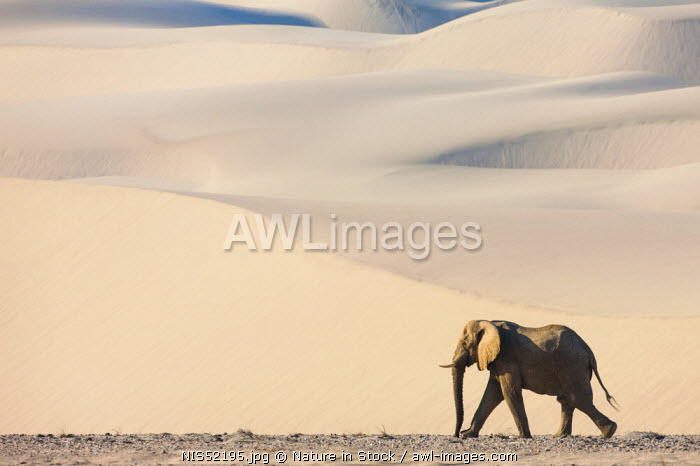 A solitary desert-adapted African Elephant (Loxodonta africana) bull walks through a dry river valley flanked by sand dunes, Namibia, Skeleton Coast
