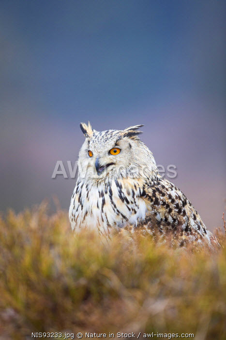 awl-images.com - Czech Republic / Siberean Eagle Owl (Bubo sibiricus) in moorland, Czech Republic, South Bohemia, Zdarske vrchy