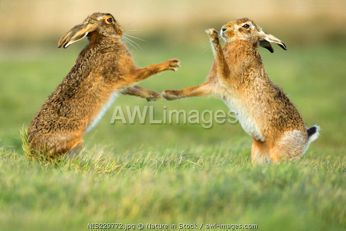 Brown hares (Lepus europaeus) standing and boxing during mating season in March, England, Suffolk
