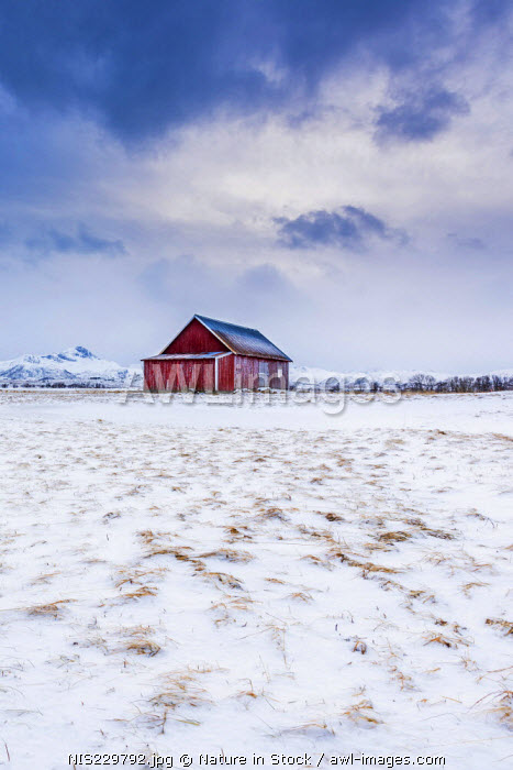 Traditional Norwegian Red Cabin in field covered with snow, Norway, Nordland, Lofoten Islands