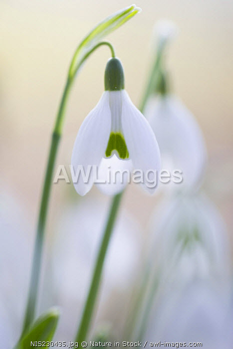 Common snowdrops (Galanthus nivalis) in early morning light, The Netherlands, Zuid Holland, Dordrecht, Wantijpark
