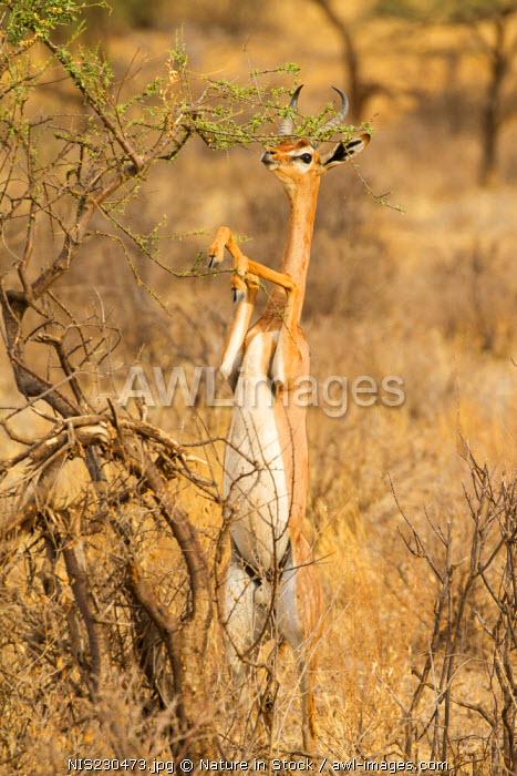 Gerenuk (Litocranius walleri), standing to browse on higher vegetation, Kenya, Samburu National Game Reserve