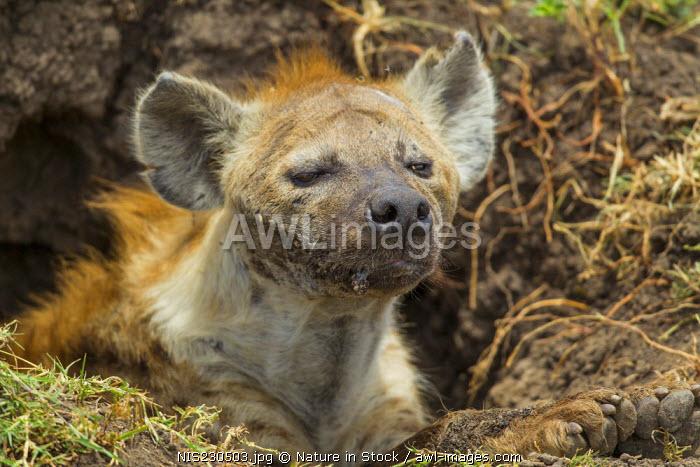 Spotted Hyena (Crocuta crocuta) looking out from den, Kenya, Masai Mara National Reserve