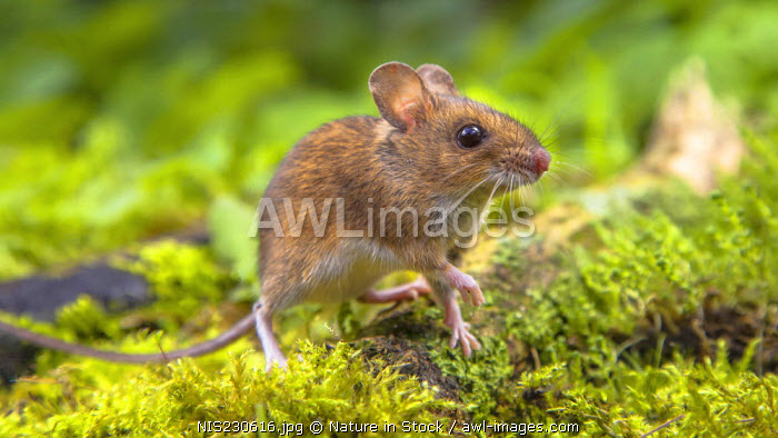 Wood Mouse (Apodemus sylvaticus) walking on a green mossy forest floor, The Netherlands