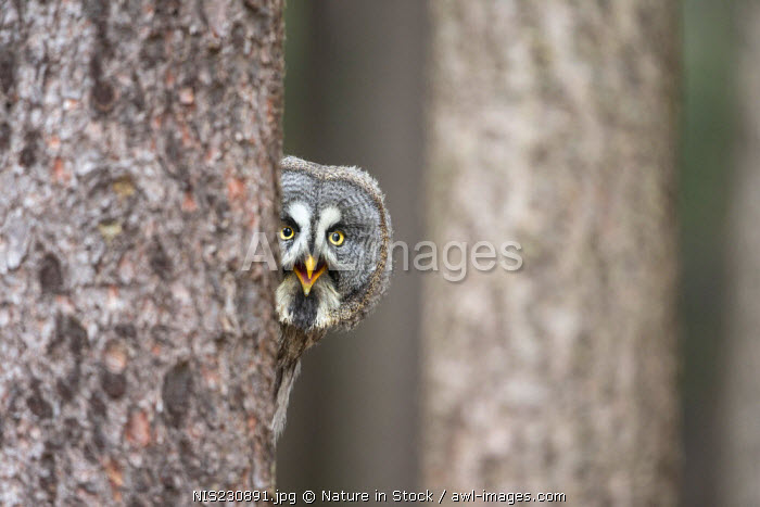 Great Grey owl (Strix nebulosa) peeping around a tree trunk  in a forest, Czech Republic, South Bohemia, Zdarske vrchy