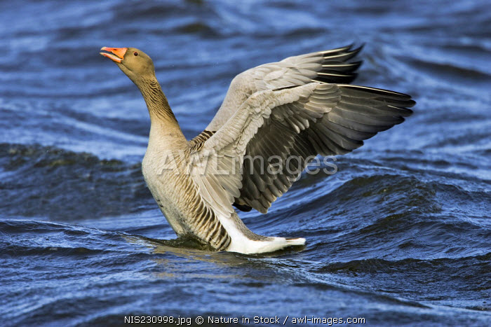 Greylag Goose (Anser anser) on the water, flapping its wings, The Netherlands, Zuid-Holland, Vogelplas Starrevaart