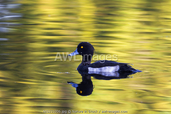 Tufted Duck (Aythya fuligula) male on reflecting water, The Netherlands, Zuid-Holland, Vogelplas Starrevaart