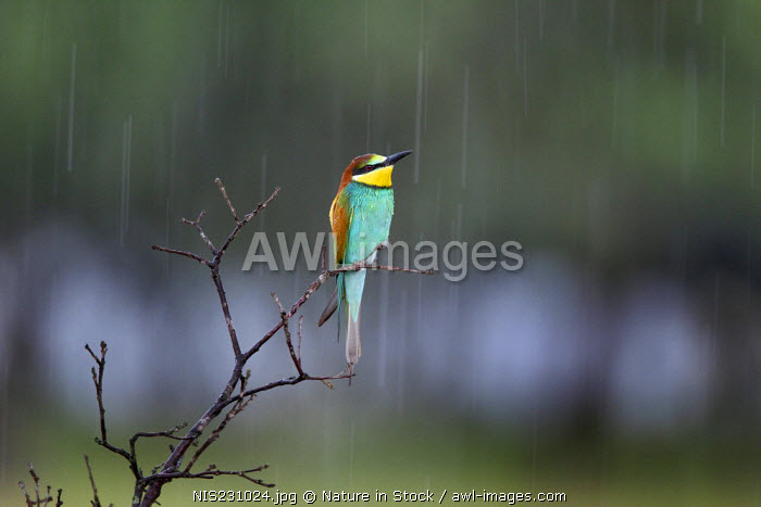 European Bee-eater (Merops apiaster) on branch in the rain, Spain, Extremadura, Arrocampo Reservoir
