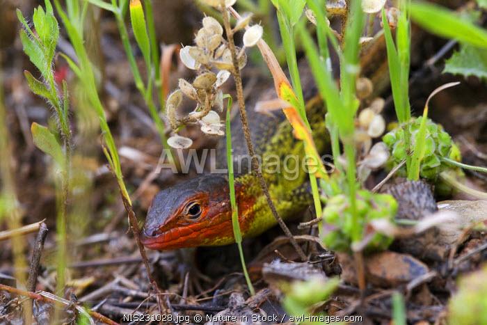 Large Psammodromus (Psammodromus algirus) male amidst grass, Spain, Extremadura, Rio Almonte