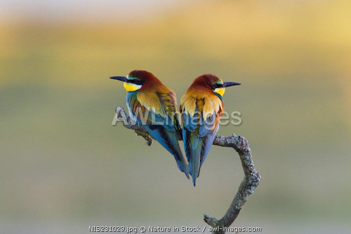 European Bee-eaters (Merops apiaster) perched on a branch, Spain, Extremadura
