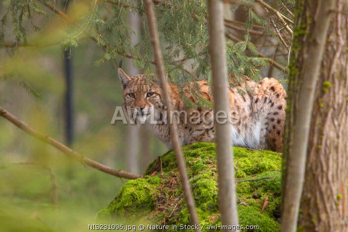 Eurasian Lynx (Lynx lynx) resting on a rock in a forest, Germany, Bavaria, Bayerischer Wald
