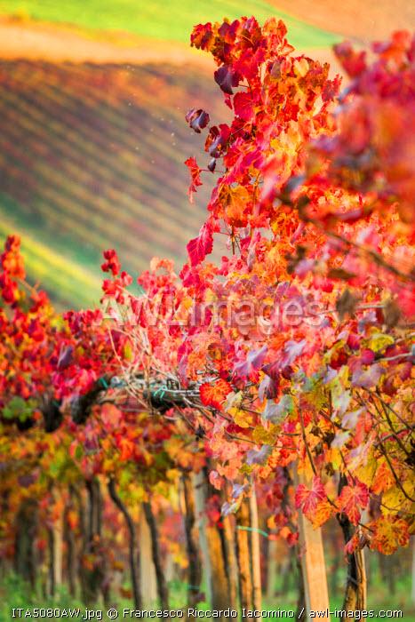 Castelvetro, Modena, Emilia Romagna, Italy. Sunset over the Lambrusco Grasparossa vineyards and rolling hills in autumn