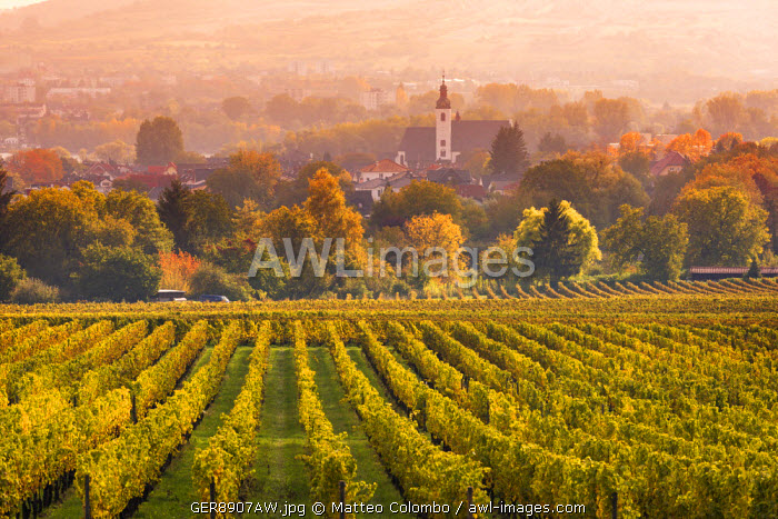 Vineyards at sunset, Oestrich-Winkel, Rhine valley, Hesse, Germany
