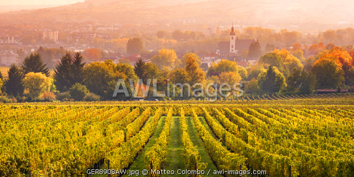 Vineyards at sunset, Oestrich-Winkel, Rhine valley, Hesse, Germany