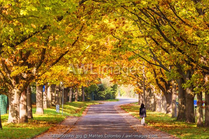 Tree lined road in autumn, Oestrich-Winkel, Rhine valley, Hesse, Germany