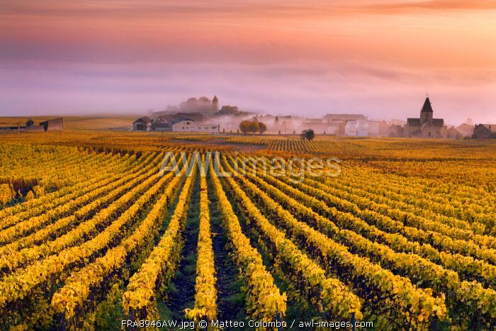 Vineyards in the mist, Mesnil sur Oger, Champagne Ardenne, France