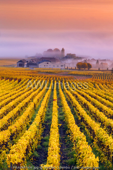 Vineyards in the mist, Mesnil sur Oger, Champagne Ardenne, France