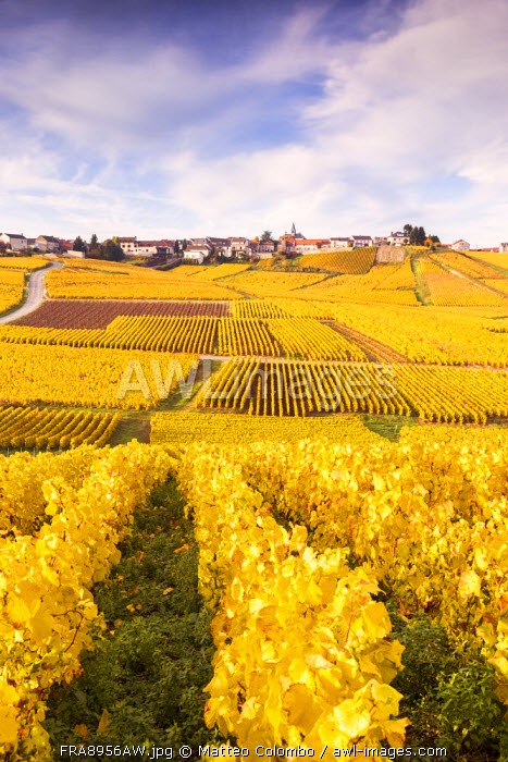 Vineyards of Cramant, Champagne Ardenne, France