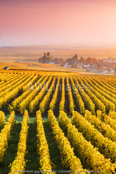 Vineyards in the mist at sunrise, Oger, Champagne Ardenne, France