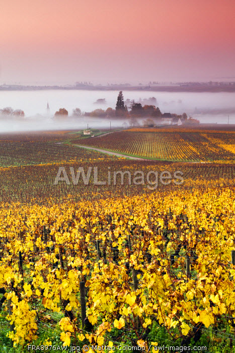 Vineyards near Aloxe Corton at sunrise, Cote d'Or,  Burgundy, France