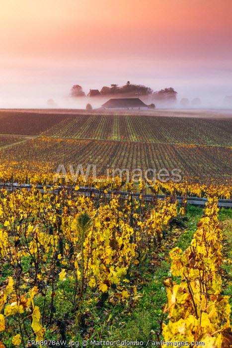 Vineyards near Aloxe Corton at sunrise, Cote d'Or,  Burgundy, France