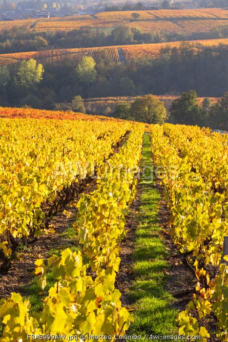 Vineyards, Lantignie, Beaujolais region, Rhone Alpes, France