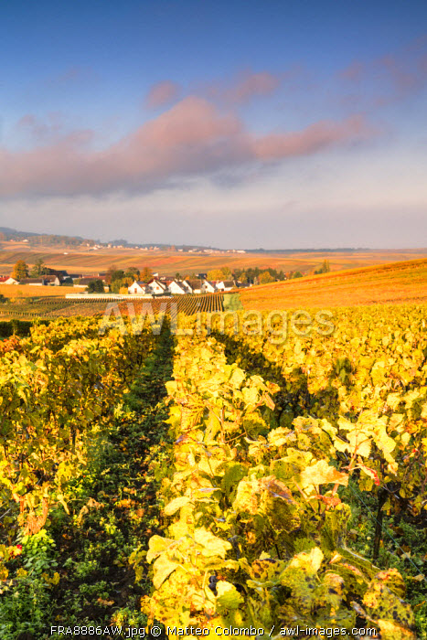 Vineyards near Chigny Les Roses, Champagne Ardenne, France